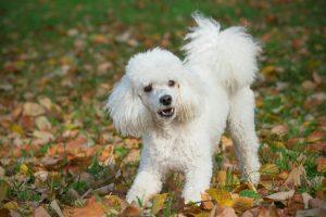 Hundar För Allergiker Westmillse