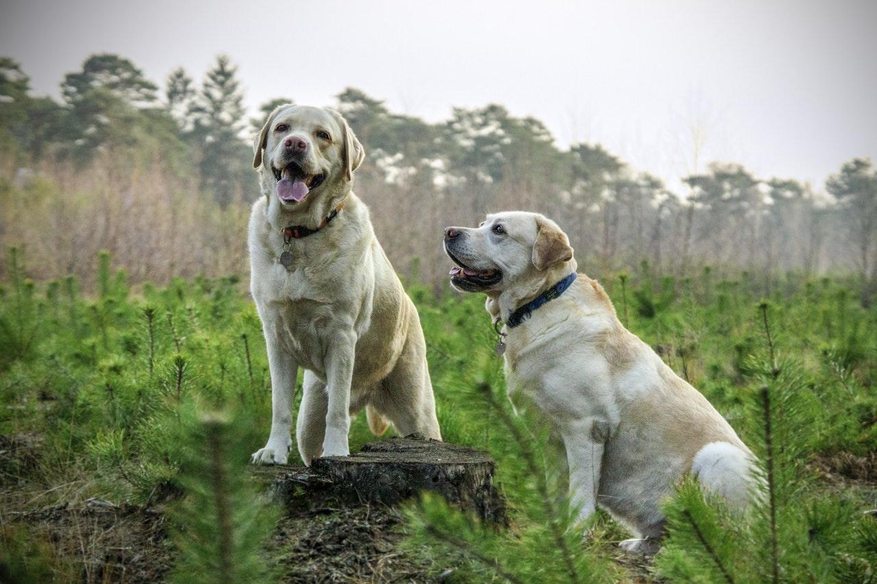 Hundar på en åker